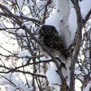 boreal owl alaska