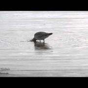 Hudsonian Godwit 111713 NJ Rarities Bird
