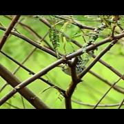 Blackpoll Warbler - Setophaga striata - Humedal Jaboque