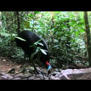 A female Southern Cassowary visits a birdfeeder