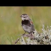 McCown's Longspur on breeding territory in July in Wyoming