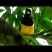Violaceous Trogon HD.MOV