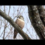 Northern Hawk Owl coughing up a pellet.......