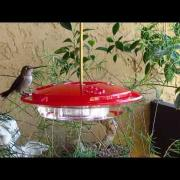 Female Anna's Hummingbird At Feeder Two Feet Away