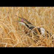 Voices: American Bittern