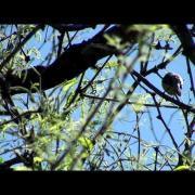 Northern Beardless Tyrannulet singing at nest