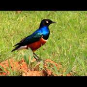 superb starling 栗腹麗椋鳥