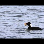 A Surf Scoter Eats a Clam
