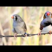 Gray zebra finch pair