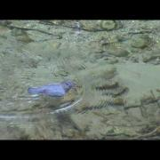American Dipper swimming under water