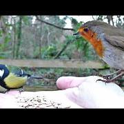 Robin and Great Tit Bird - Hand Feeding Song Birds