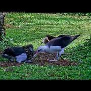 After Crash Landing, Manawanui Returns To Feed Moikeha On Laysan Albatross Cam – May 10, 2018