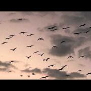 Glossy Ibis Fly In - (Plegadis falcinellus)