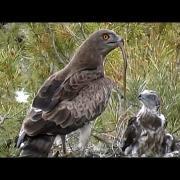 Culebrera europea (Circaetus gallicus) Short-toed Snake-eagle