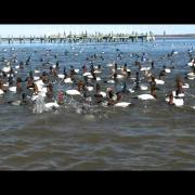 Canvasback feeding frenzy