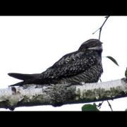 The Lovely Song of a Common Nighthawk at Dusk