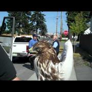 Raptor Management - Airporter Shuttle - Red-tailed Hawk