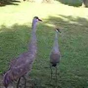 Sand Hill Crane Dance