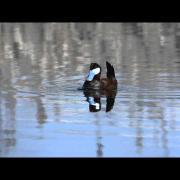 Ruddy Duck display
