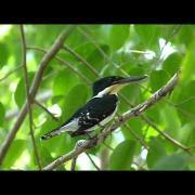 Chloroceryle americana (Green Kingfisher - Martin Pescador verde)