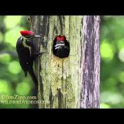 Pileated Woodpecker Nest
