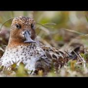 Spoon-billed Sandpiper: Hatch