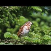 Fox Sparrow (Red Morph) in Maine