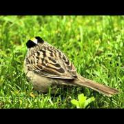 DSLR Video: Golden-crowned Sparrow