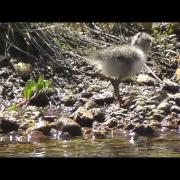 Spotted Sandpiper Chick Foraging