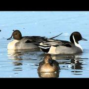Northern Pintail courtship