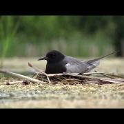 Guifette noire (Chlidonias niger) Black Tern