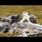 Rock Sandpiper, 3 July 2015, St Matthew Island, Bering Sea