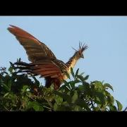 Hoatzin, footage taken from inside the canoe, Pousada do Gian, Rio Cristalino, MT,