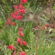 Hummingbird Feeding on Heuchera flowers