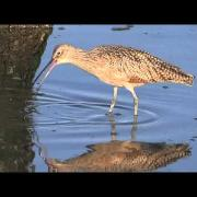 Long billed Curlew   131006