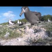 Black-footed albatross feeding chick