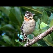 Tico-tico (Rufous-collared Sparrow) - Zonotrichia capensis - Capelinha / Angel√¢ndia - MG