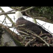 12/09/14 Christmas Bald Eagle Nest Building Watch @ End S James St. Kent, Wa