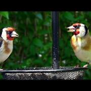 A Pair of Beautiful Goldfinches - European Goldfinch
