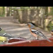 Chaffinch, Great Tit, Nuthatch and Coal Tit - Birds on The Bluebell Bench