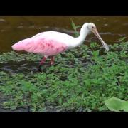 Roseate Spoonbill & Tricolored Heron