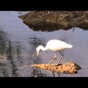 Juvenile Little Blue Heron - Egretta caerulea