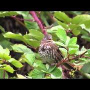 Fox Sparrow, Autumn Song