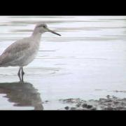 Albany Shorebirds - Willet
