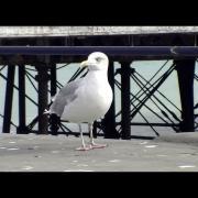 Herring Gull - Seagull (Larus argentatus)
