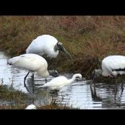 Wood Stork Feeding Strategy