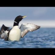 Through the Lens: Yellow-billed Loon