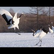 Japan's Cranes