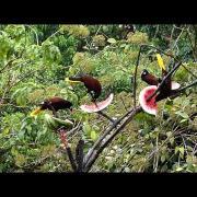 Montezuma Oropendolas (Psarocolius montezuma)