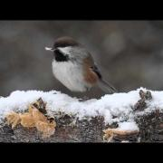 Boreal Chickadee eating Peanut Butter